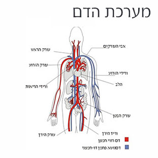 משחק לימודי קבוצתי בנושא מערכת הדם