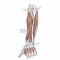 השלד והשרירים